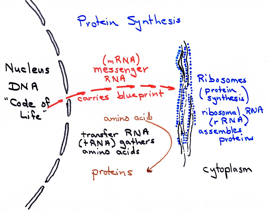steps of protein sythesis